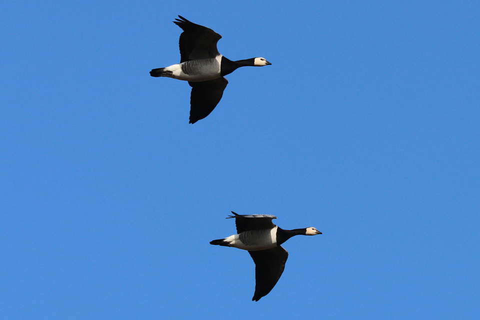 Blog2b Barnacle geese 1 Islay 250218