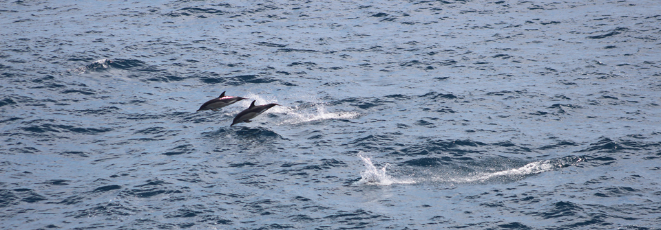 Cap Fin blog week 10 common dolphins