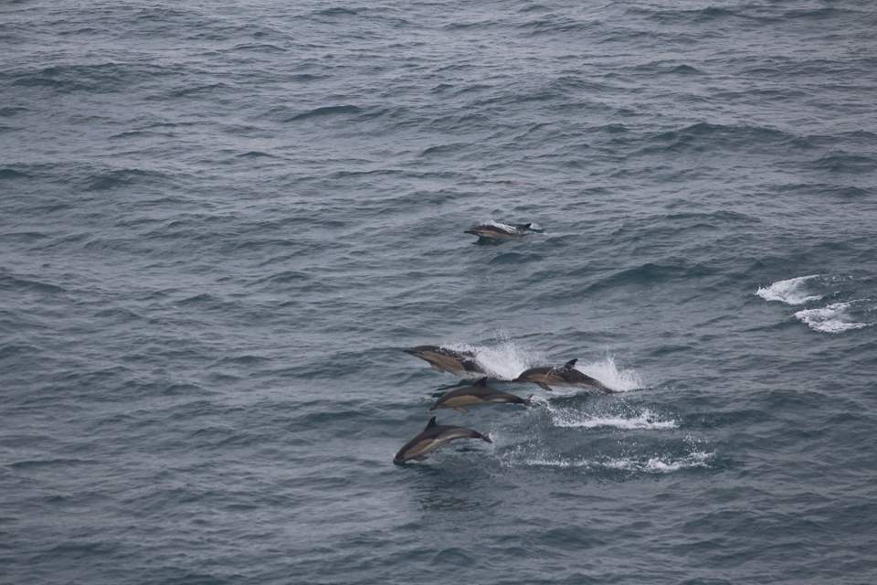 Cap Finistre blog common dolphins