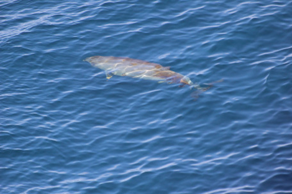 This calm Cuvier's Beaked whale also appeared very close to the ship!