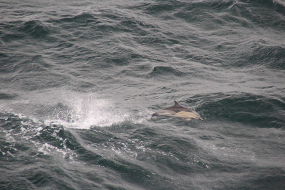 Common dolphin playing in the wake of the Pont Aven
