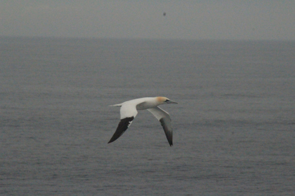 A friendly gannet keeping us company on our deck watch