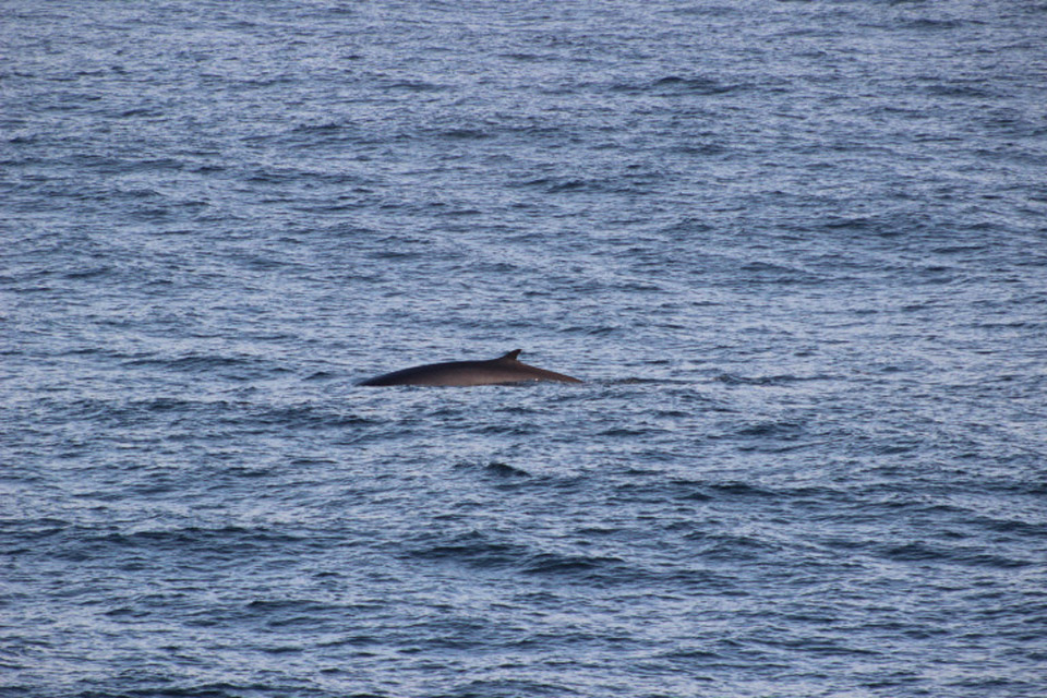 Juvenile Fin whale that appeared right next to the ship!