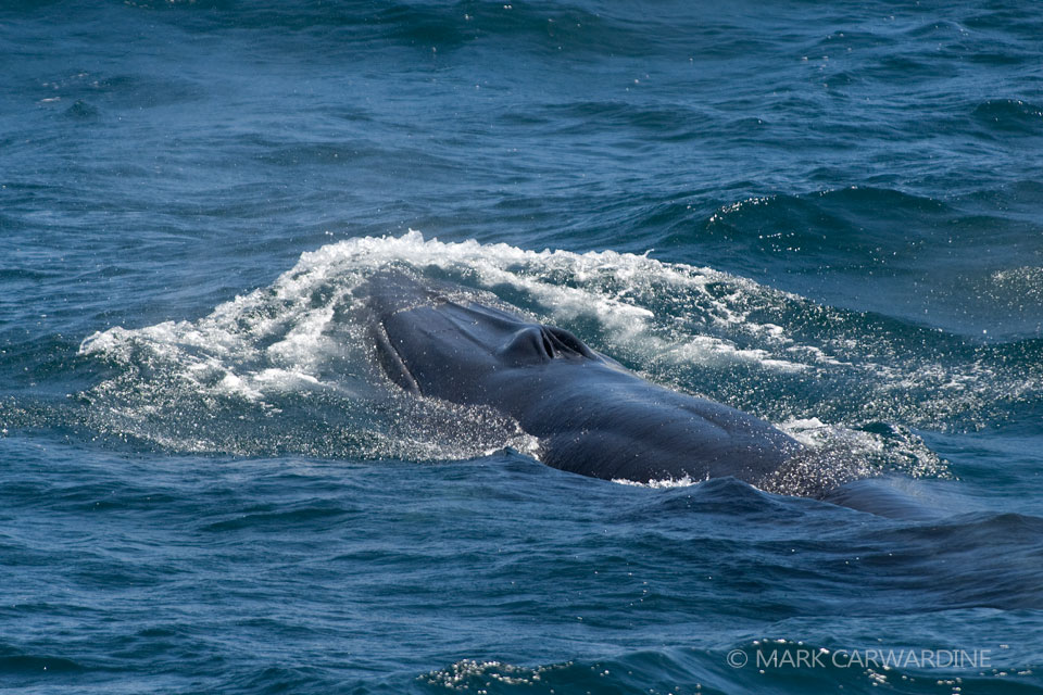 150 Bryde's whales fall victim to Japanese whaling