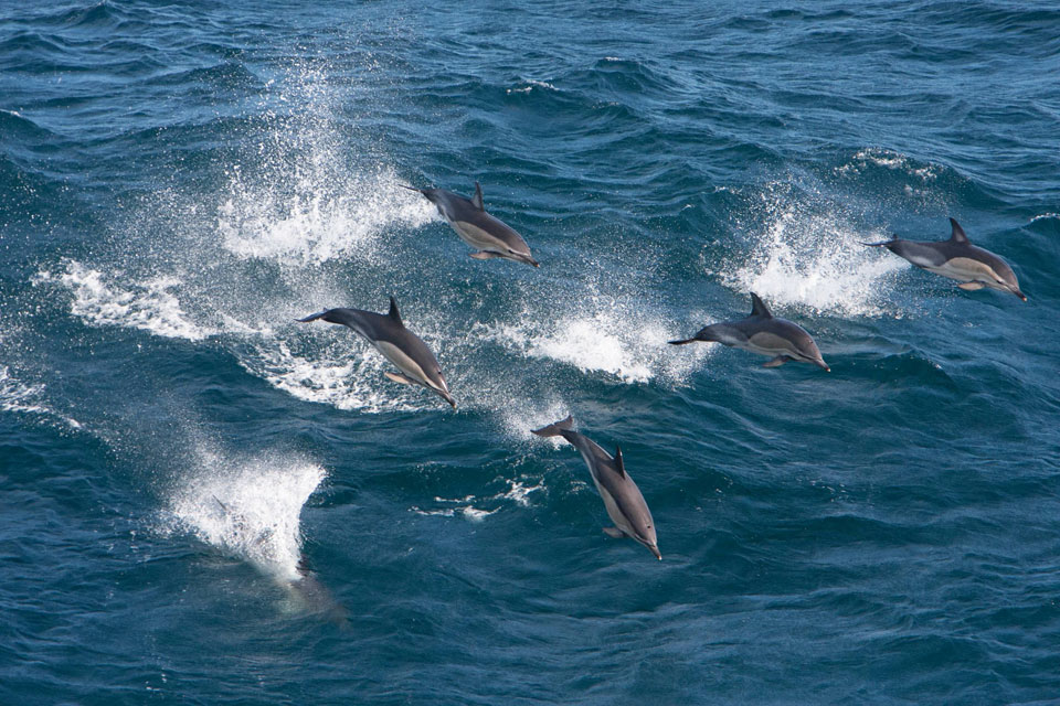 species common dolphin 03
